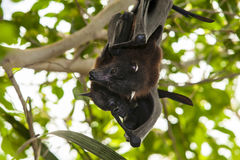 Two Indian flying foxes Royalty Free Stock Photography