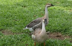 two Indian grey and white ducks playing in garden royalty free stock images