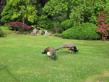 Two indian peacocks in the Kyoto Garden in the public park Holland Park in London, UK. stock images