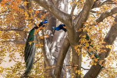 Two Indian peafowls Pavo cristatus on the big tree with yellow leaves. Blue peacocks, males, perching on branches opposite each other with tails down. Prague royalty free stock images