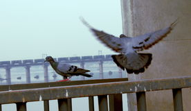 Two Indian Pigeon Bird. Two Indian Beautiful Pigeon Bird Back and flying in city Royalty Free Stock Photo