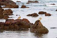 Two Indian Pond Herons standing on Rocks looking for Prey Royalty Free Stock Photography