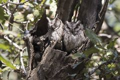 Two Indian scops owl sitting near hollows in a thick branch of a Royalty Free Stock Images
