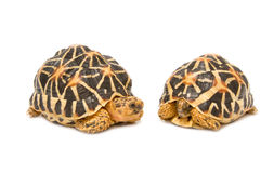 Two Indian Starred Tortoise Stock Image