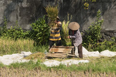 Two indonesian farmers separating rice grains by treshing the plants Stock Photography