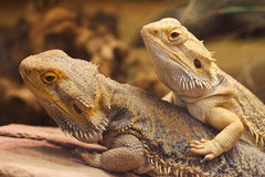 Two Inland Bearded Dragons. Two bearded dragons also known as Amphibolurus Vitticeps. This species is native to Australia and is nowadays often found as a pet Royalty Free Stock Photos