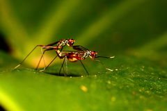 Two insects breeding Royalty Free Stock Photo
