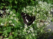 Two insects are fighting a wild carrot flower royalty free stock photo