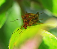 Two insects mating Stock Photography