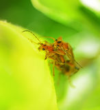 Two insects mating Royalty Free Stock Photos
