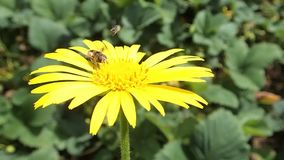 Two insects on a yellow flower. Two insects: an August fly and a little bee on a yellow flower  eating some honey-dew stock footage