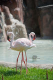 The two inseparable flamingos Royalty Free Stock Photography
