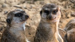 Two interested meerkats look at you stock photo