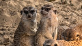 Two interested meerkats are sunbathing Stock Image