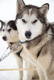 Two Inuit Sled Dogs Harnessed in Snow for Dogsledding in Minnesota. Two Inuit sled dogs stand in the snow of Ely, Minnesota preparing to haul dog sled riders Royalty Free Stock Photo