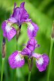 Two iris flowers Royalty Free Stock Photos