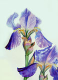 Two Irises Stock Images