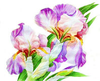 Two Irises Royalty Free Stock Images