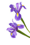 Two Irises. Isolated on a white background. focus on bottom flower Stock Images