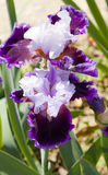 Two irises of violet and white colours Royalty Free Stock Photo