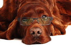 Irish Red Setter dog in glasses Stock Photo
