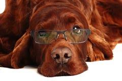 Irish Red Setter dog in glasses Stock Photo