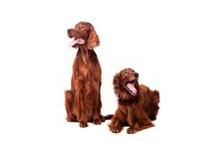 Two Irish Red Setters on white Stock Photos