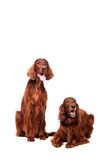 Two Irish Red Setters on white Royalty Free Stock Image