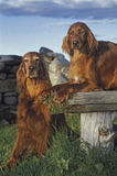 Two irish setter in the sunset Royalty Free Stock Photos
