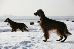 Two irish setters Royalty Free Stock Photo