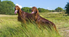 Two Irish Setters. Picture of two Irish Setters standing on a hill Royalty Free Stock Photos