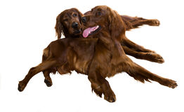 Two Irish Setters Royalty Free Stock Photography