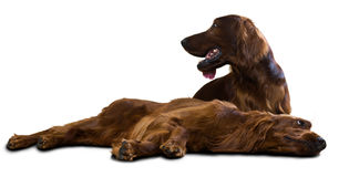 Two Irish Setters Royalty Free Stock Images
