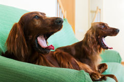 Two  Irish Setters Royalty Free Stock Photos