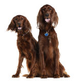 Two Irish Setters sitting Stock Image
