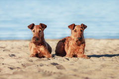 Two Irish Terrier lying on sand near water. Two Irish Terrier lying together on the sand near the water Stock Photography