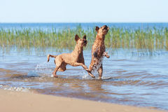 Two Irish Terriers playing in the water. Two Irish Terriers playing together in the water Royalty Free Stock Images