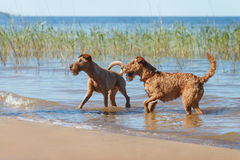 Two Irish Terriers playing in the water. Two Irish Terriers playing together in the water Royalty Free Stock Photos