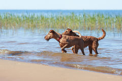 Two Irish Terriers playing in the water. Two Irish Terriers playing together in the water Stock Photo