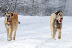 Two Irish wolfhound dog. In winter Royalty Free Stock Photo