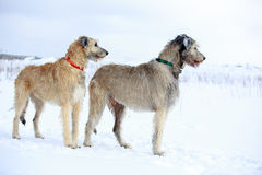 Two dogs. Two irish wolfhound dog in winter field Stock Images