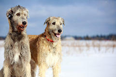 Two dogs. Two irish wolfhound dog in winter field Royalty Free Stock Photos