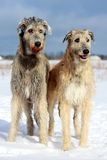 Two dogs. Two irish wolfhound dog in winter field Stock Photo