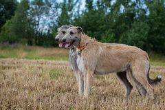 Two irish wolfhounds. Dogs stand side by side Stock Image