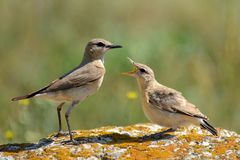 Two Isabelline Wheatear On A Rock On A Green Background Oenanthe Isabellina Stock Photo