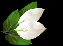 Two isolated on black spathiphyllum flowers Royalty Free Stock Photos