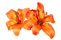 Two Isolated Bright Orange Asian Lily Flowers on White Royalty Free Stock Image