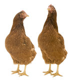 Two Isolated Chickens. Two chickens isolated on white background stock image