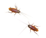 Two isolated cockroach on white background Royalty Free Stock Image