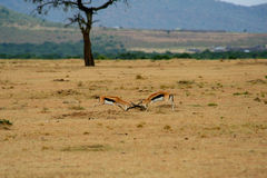 Two isolated fighting antelope Royalty Free Stock Image